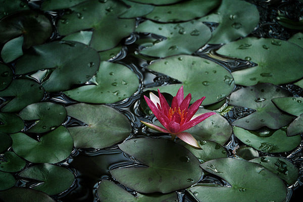 Nenúfar, flor, agua, ISR, ESG, bonos flotantes