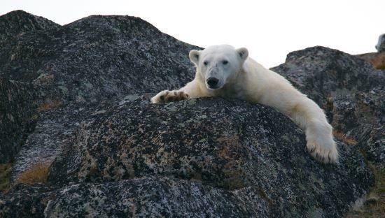 oso polar, cambio climático, ISR, ESG, animales
