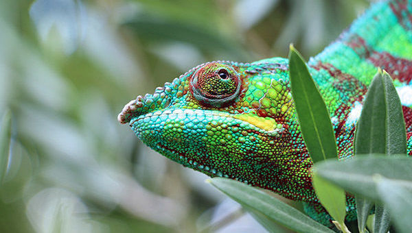 camaleón, réplica, gestión pasiva, cambios, adaptación