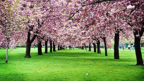 Cerezo, árbol, ISR, ESG, sostenible, primavera, Japón