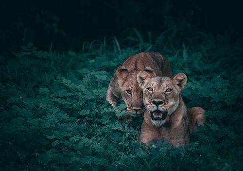 leones, dos