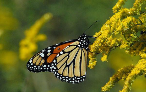 Butterfly_mariposa